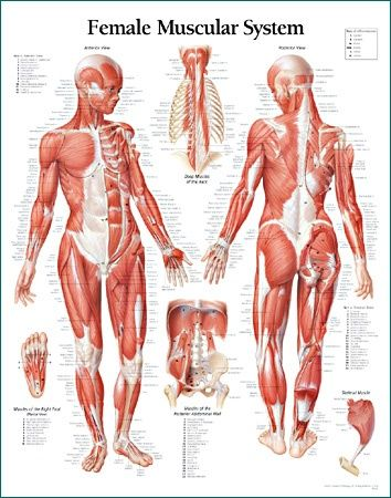 Female Muscular Anatomy ✤    CHARACTER DESIGN ...   Character ...