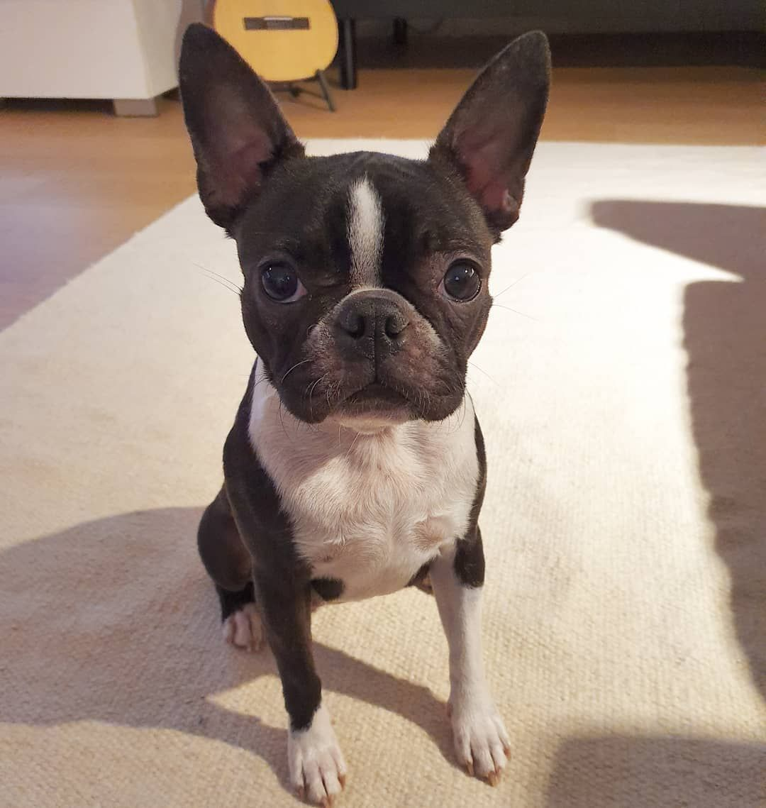 Today I Got New Friends From Turku I Even Loved The Little Human Bostonterrier Bostoninterrieri Taikataikuri In 2020 Boston Terrier Turku New Friends