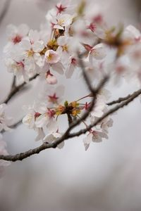 What Is The Meaning Of Cherry Blossom Flowers Cherry Blossom Flowers Cherry Blossom Blossom Flower