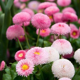 Stokrotka Pomponette Mieszanka Sklep Swiat Kwiatow Dostawa Gratis Flowers Best Coffee Table Books Plants