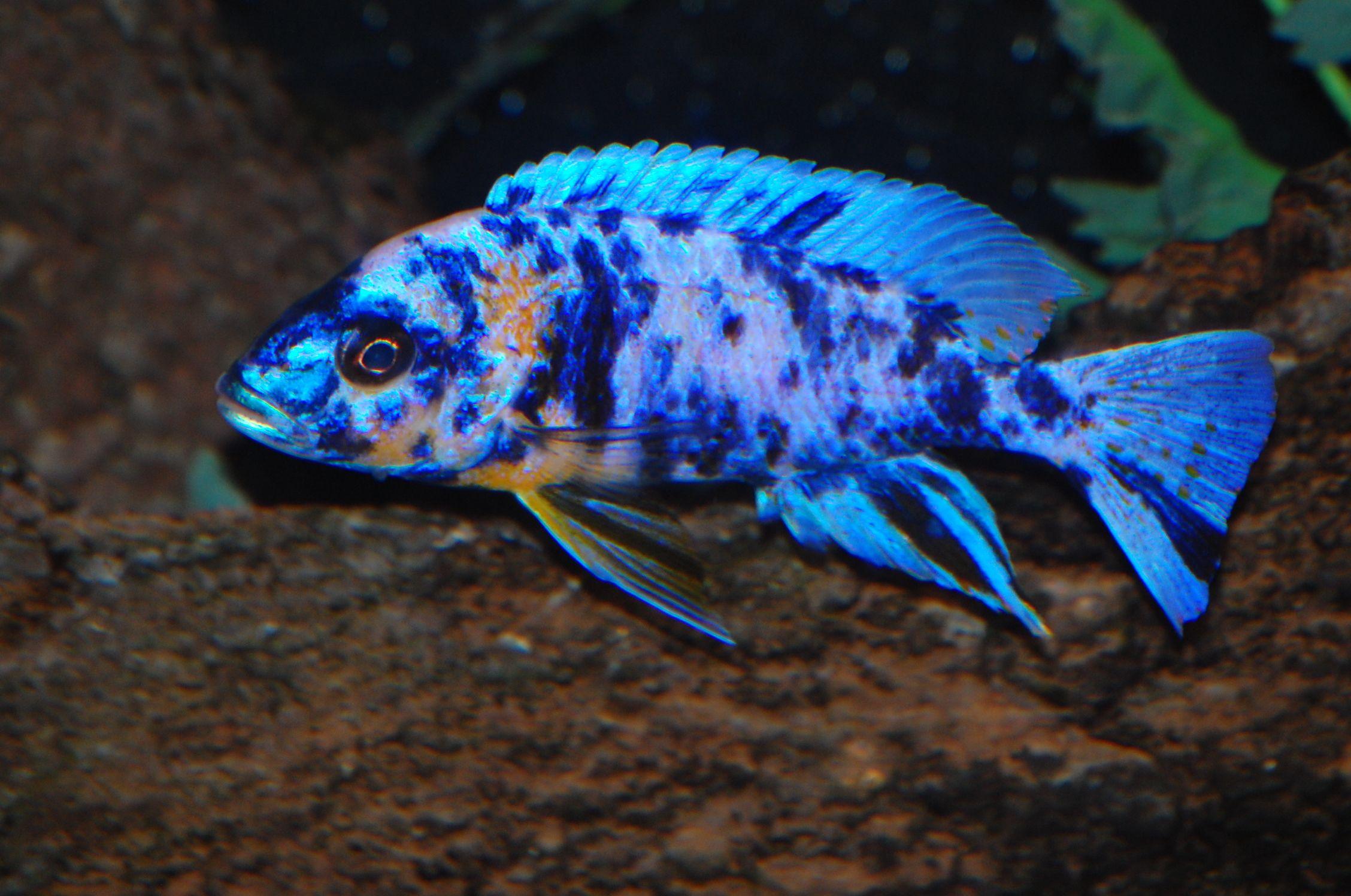 Cichlids Com Blue Ob Peacock Cichlids African Cichlids Aquarium Fish