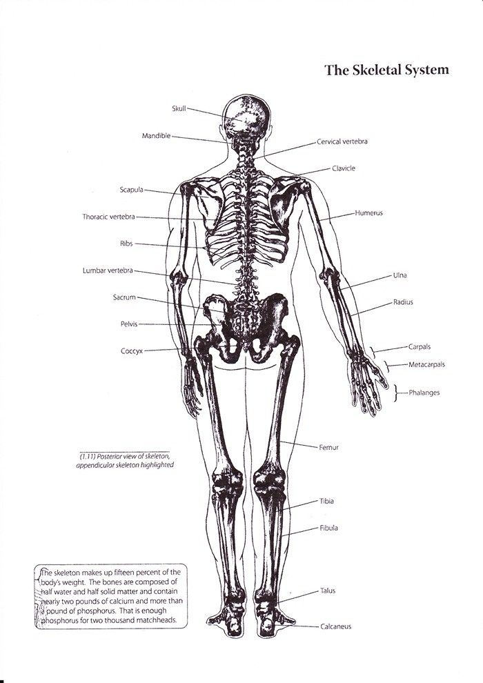 Basics Of Human Skeletal System | Human Anatomy and Physiology ...