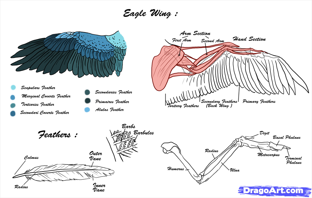 eagle wing diagram flat 4 trailer wiring anatomy grade pinterest and wings
