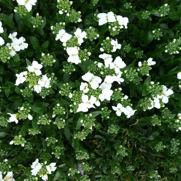 Arabis sturii creeping wall cress a compact species quite flowers mightylinksfo Choice Image