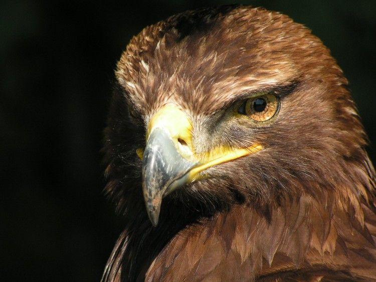Fonds d 39 cran animaux fonds d 39 cran oiseaux aigles aigle royal par lacrepe - Dessin d aigle royal ...