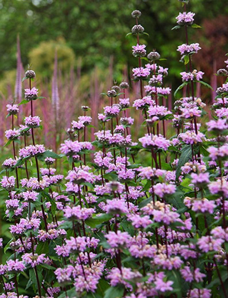 Phlomis tuberosa /'Amazone/' JERUSALEM SAGE 25+ seeds medicinal herb perennial