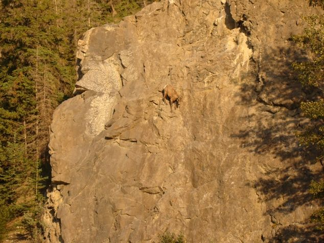 Goats in precarious positions - 08