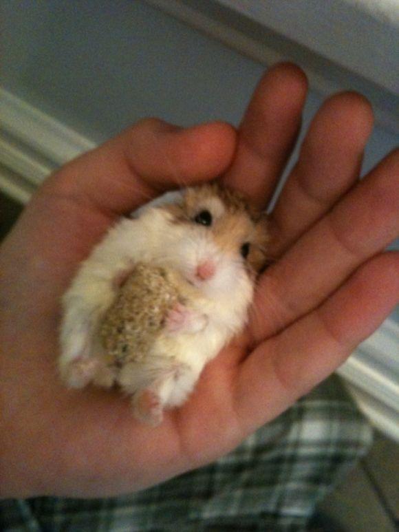Cute Hamster Eating Snack Upside Down Cutest Paw Cute Hamsters