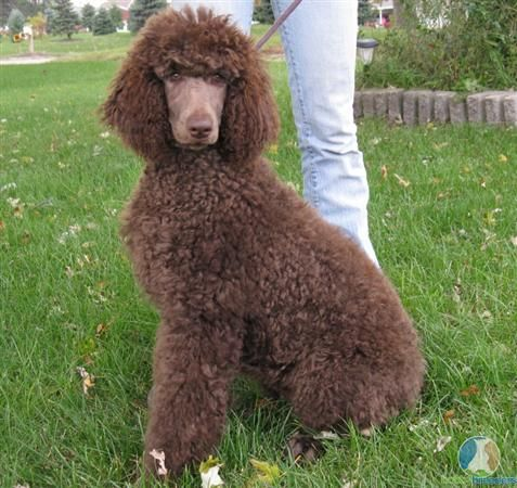 Brown Poodle Pup Poodle Dog Poodle Poodle Puppy