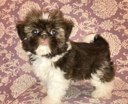 Litter Of 3 Shih Tzu Puppies For Sale In Sacramento Ca Adn 50739 On Puppyfinder Com Gender Female Age 8 Weeks Old Shih Tzu Puppy Shih Tzu Puppies For Sale