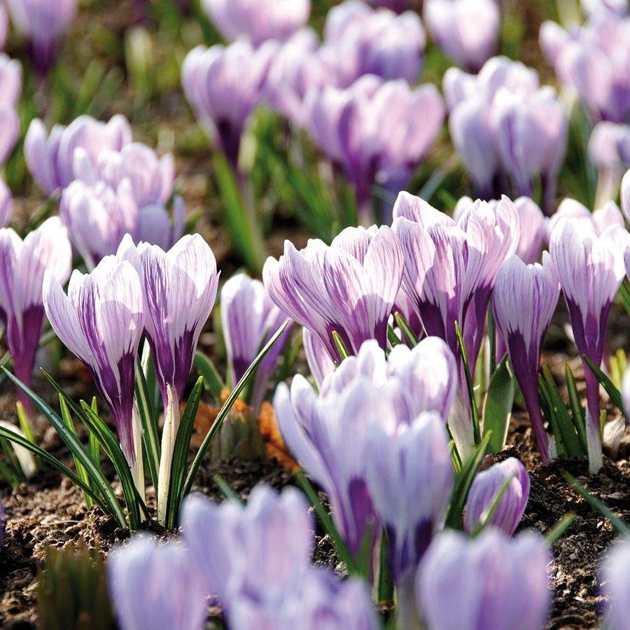 Krokusse King Of The Striped Grossblumiger Gartenkrokus Mit Weissen Violett Gestreiften Bluten Und Dunkler Basis Fur Kubel Krokus Stauden Pflanzen Tom Garten