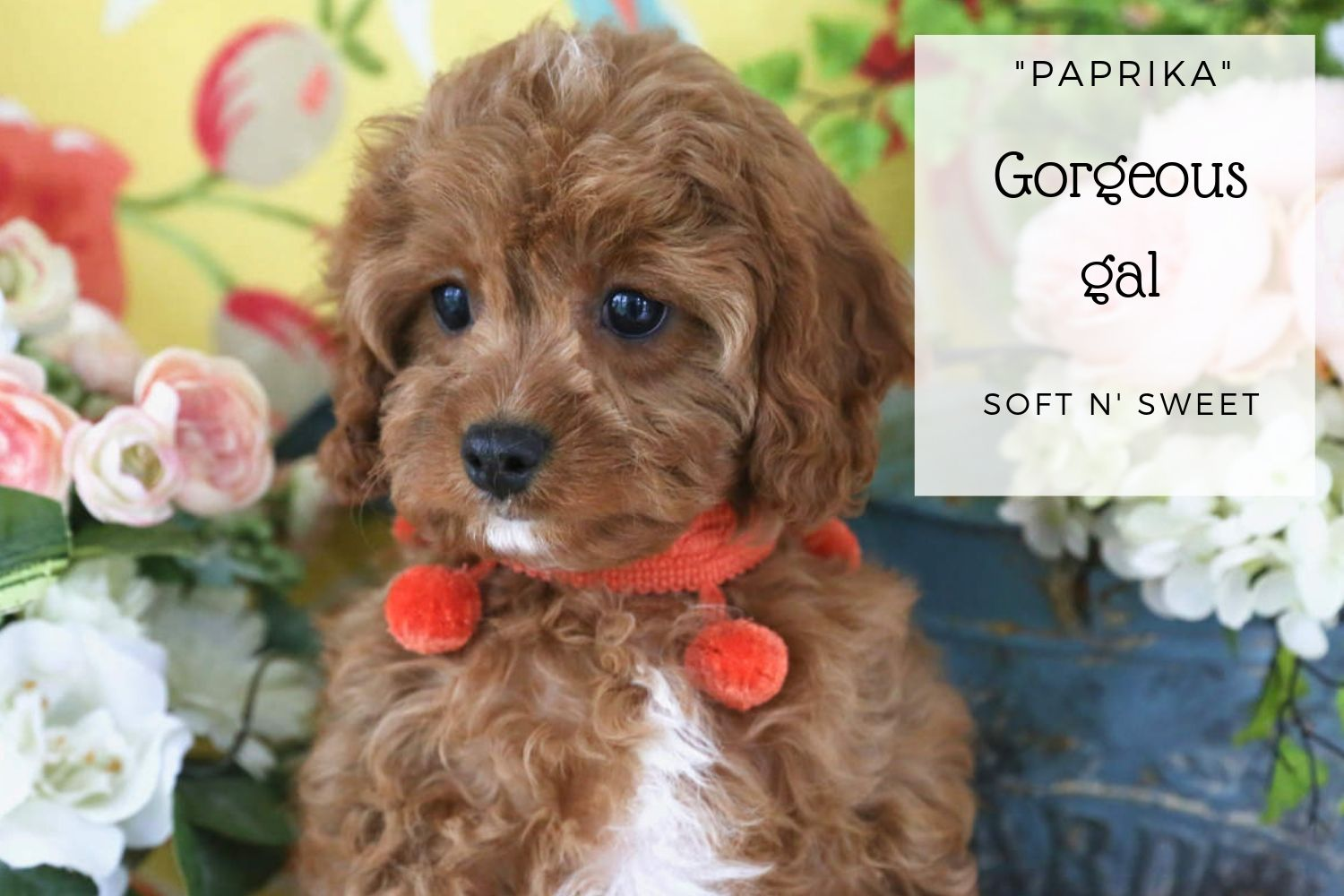Available Cavachon And Cavapoo Puppies Foxglove Farm Cavachon