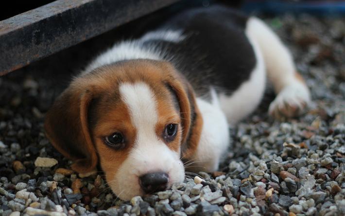 t l charger fonds d 39 cran beagle chiot animaux de compagnie des animaux mignons des chiens. Black Bedroom Furniture Sets. Home Design Ideas