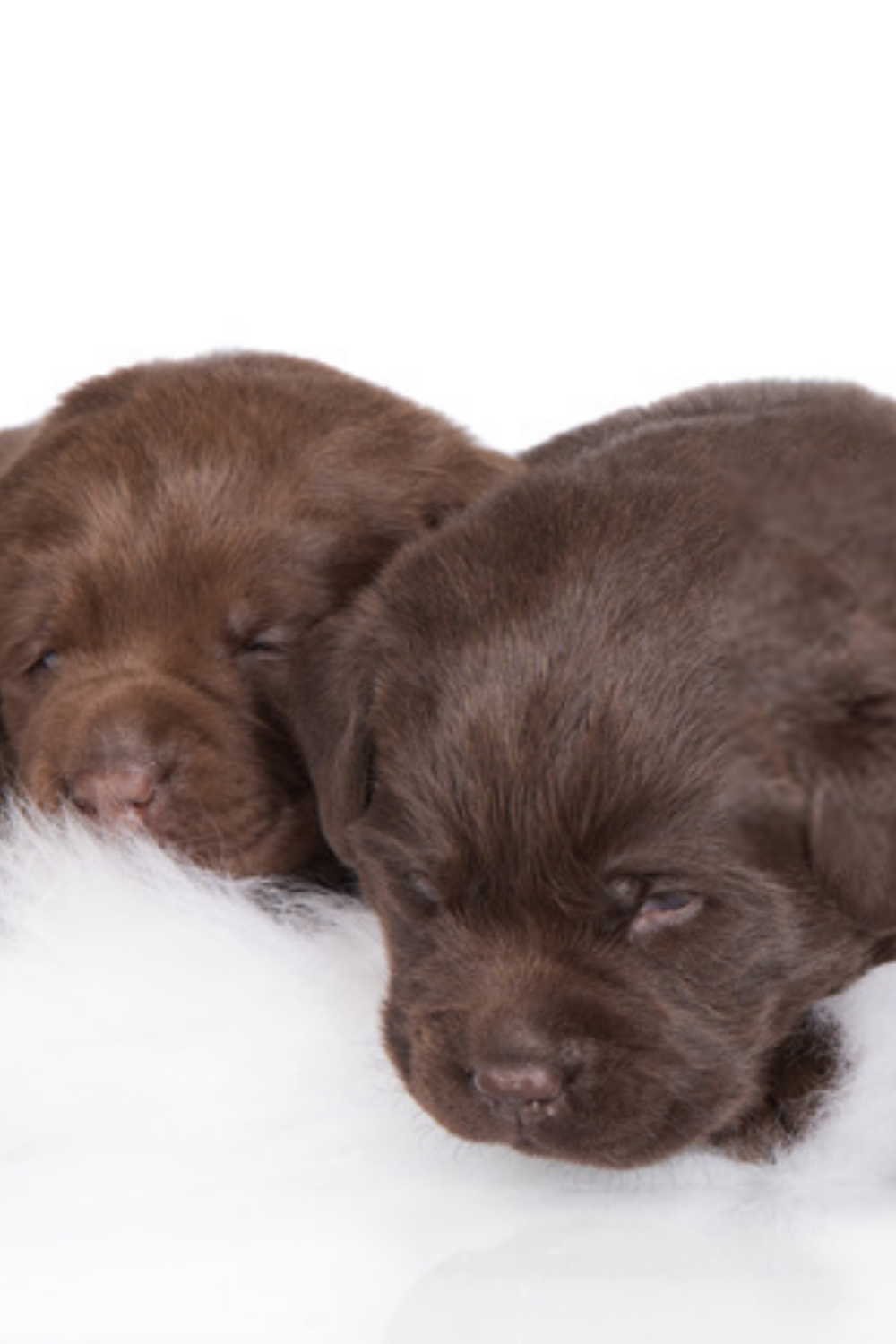 Chocolate Lab Puppies In 2020 With Images Lab Puppies