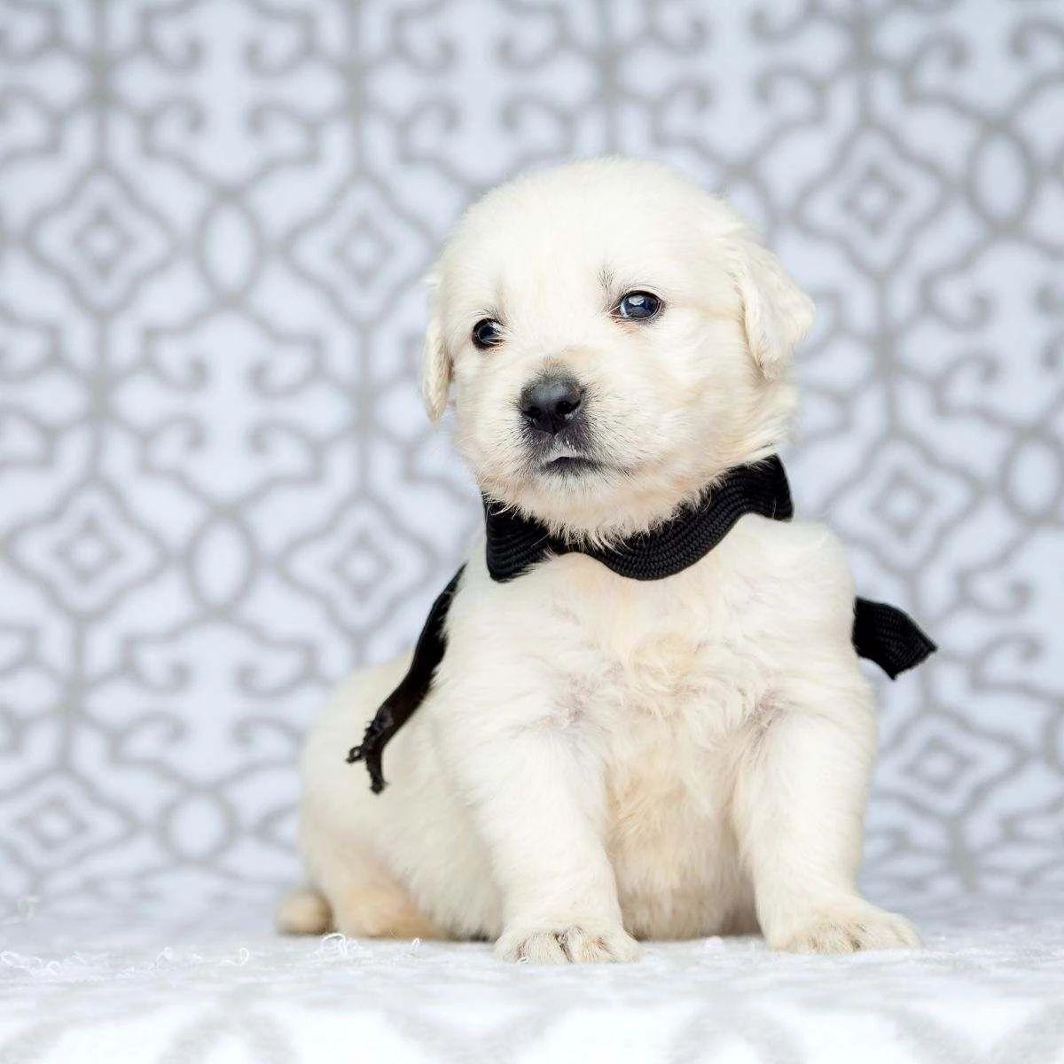 White golden retriever puppy cream in 2020 White golden