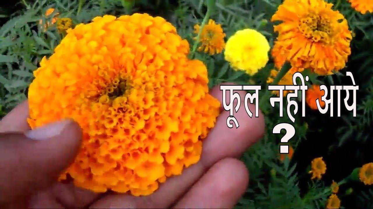क्या आपके गेंदे पे फूल नहीं आये /Grow Marigold /Winter