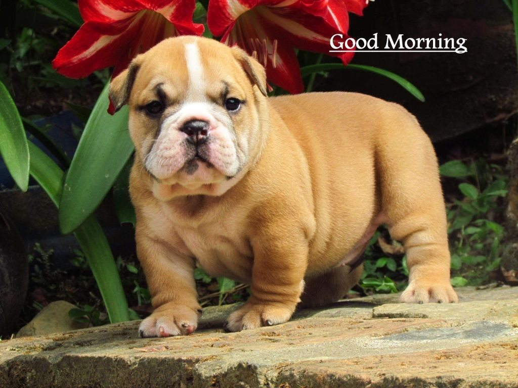 Good Morning Cute Bull Dog Pictures Good Morning Cute Cat Images