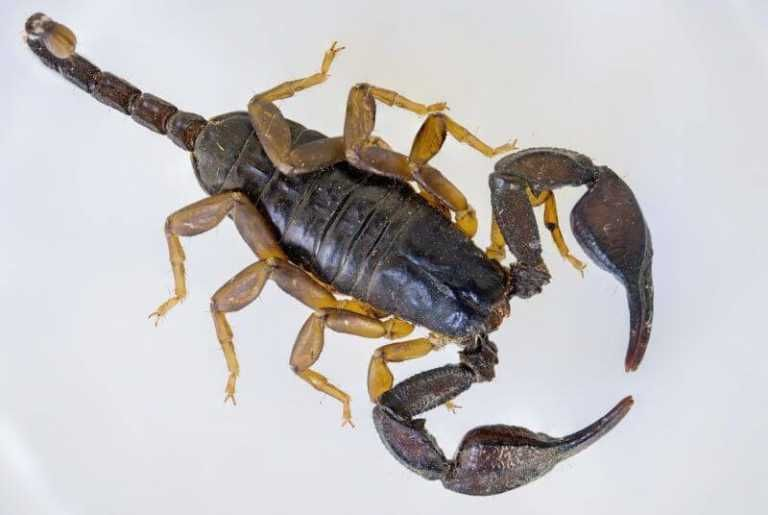 how to get rid of scorpions naturally