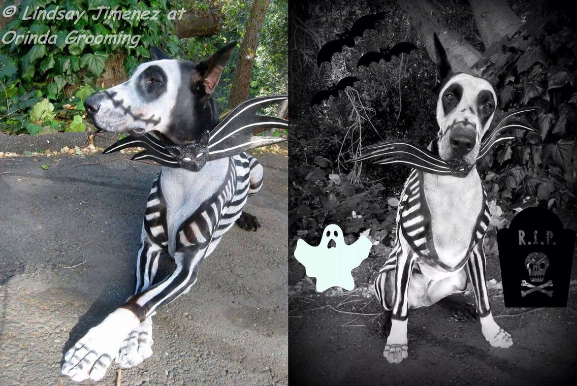 What A Patient Dog His Owner Used Pet Safe Paint To Make Him Look Like Jack Skeleton Great Dane Costume Dog Halloween Dog Halloween Costumes