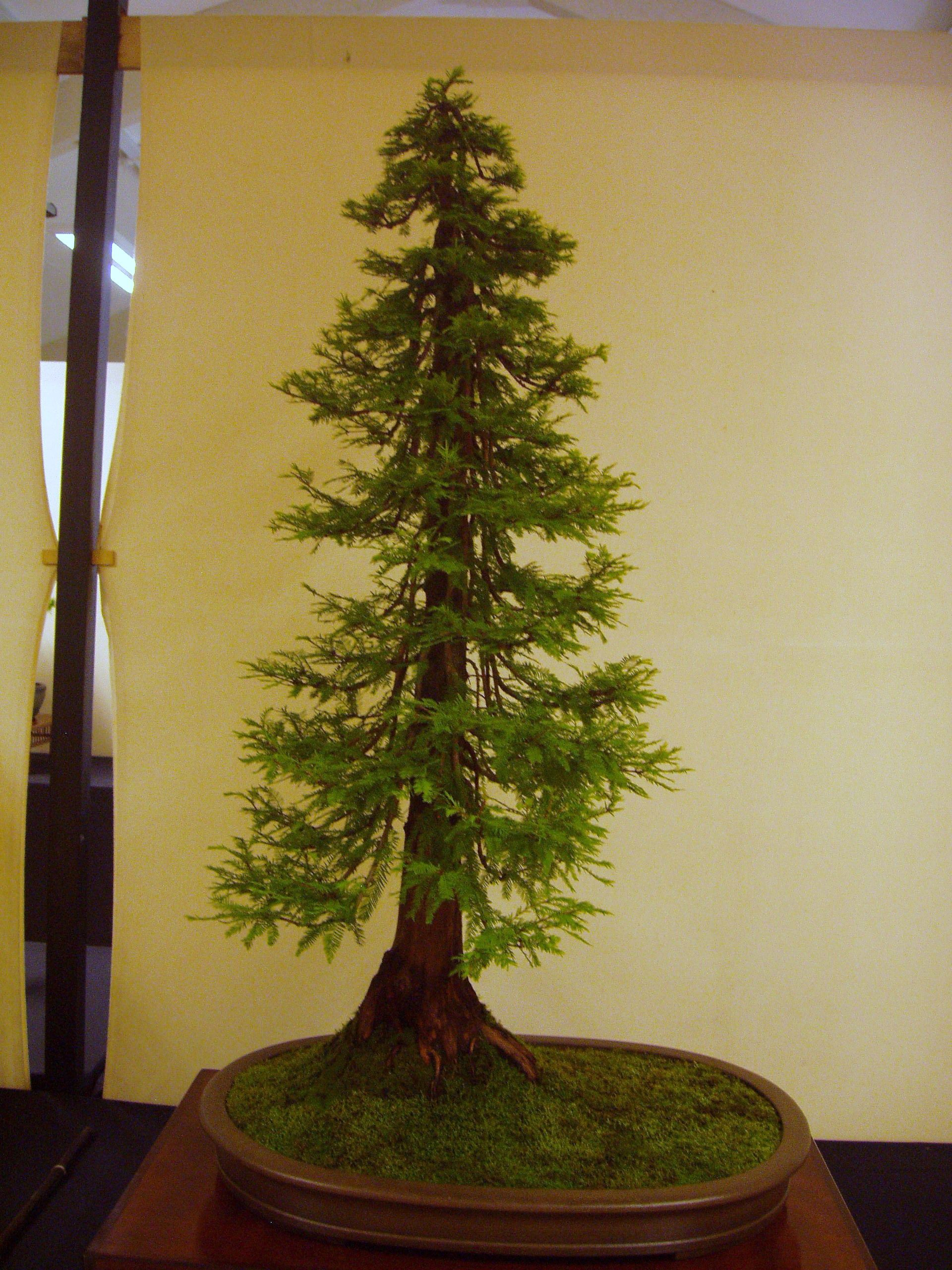Dawn Redwood Bonsai Bonsai Tree Bonsai Tree Types Redwood Bonsai
