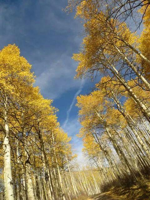 Western Colorado Aspens...Anne Allen Porter