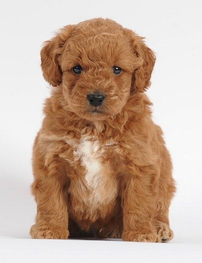 Tiny Goldenddoodle Puppy Bred By Swissridge Kennels In Lindsay