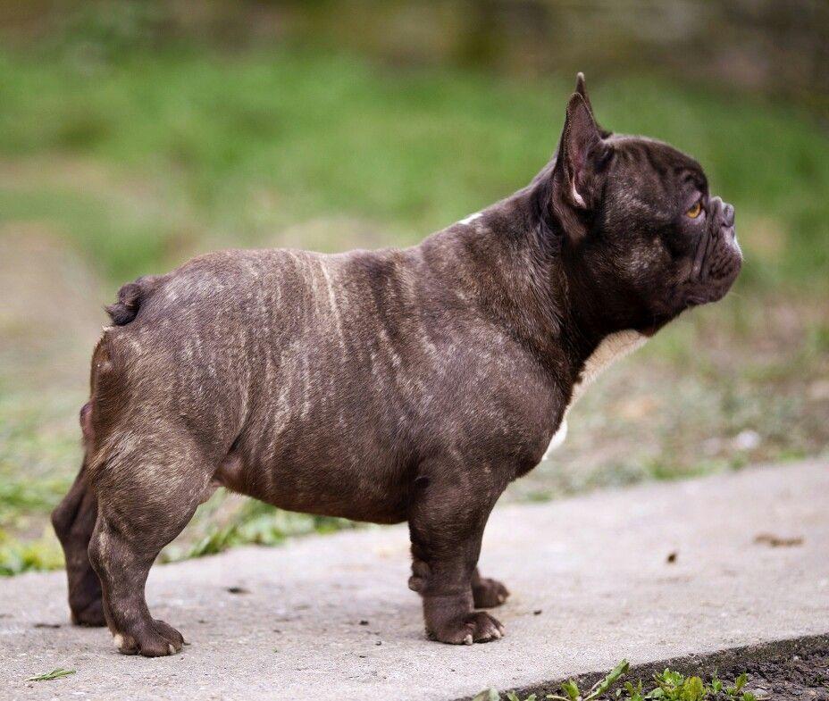 Magic A Chocolate Brindle French Bulldog Male Short Thick