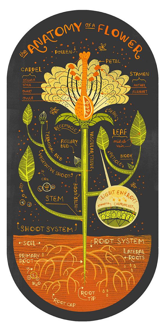 The Anatomy of a Flower art print | einfache Blumen, Anatomie und ...