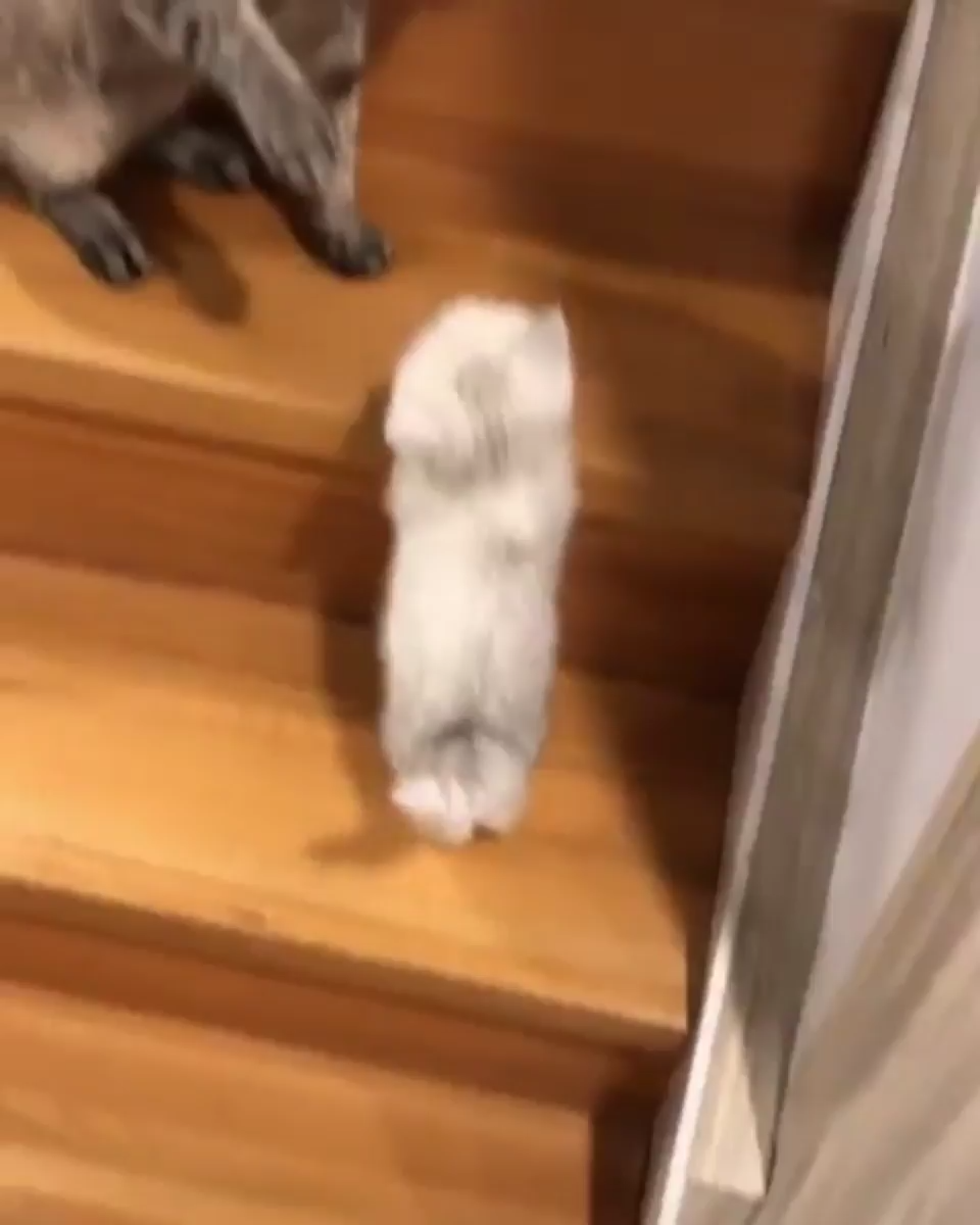 Kitten Attempts Final Stage Of Stair Climbing School Video Cute Cat Memes Cute Cat Gif Funny Cute Cats