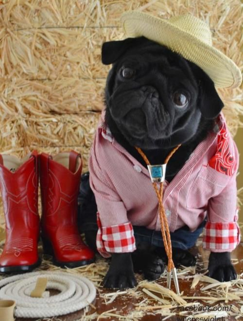 cowgirl pug | Pug Love | Pinterest