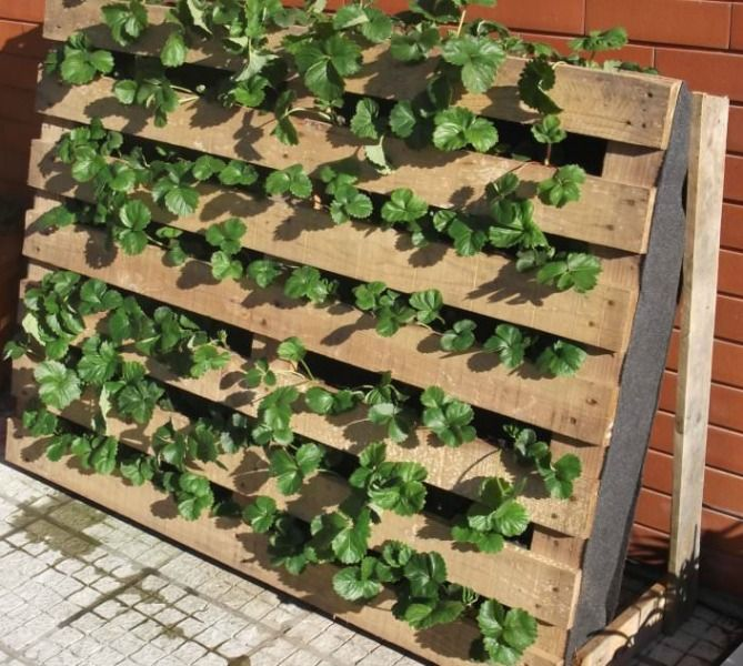 How to Grow the Most Delicious Strawberries in Your Garden. Strawberries are easy and fun to grow at home and it's not as difficult as some people think. One strawberry plant can produce up to a quart of tasty berries.