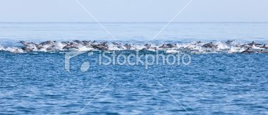 Large school of Long-beaked Common Dolphin, Delphinus capensis, Sea_of Cortez Royalty Free Stock Photo