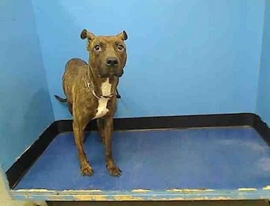 SAFE --- URGENT - Manhattan Center   TRUNK - A0985902   MALE, BR BRINDLE / WHITE, PIT BULL MIX, 2 yrs  STRAY - STRAY WAIT, NO HOLD Reason STRAY  Intake condition NONE Intake Date 11/24/2013, From NY 10452, DueOut Date 11/27/2013 https://www.facebook.com/photo.php?fbid=709575175722031&set=a.611290788883804.1073741851.152876678058553&type=3&permPage=1#!/photo.php?fbid=714565008556381&set=pb.152876678058553.-2207520000.1385512237.&type=3&theater