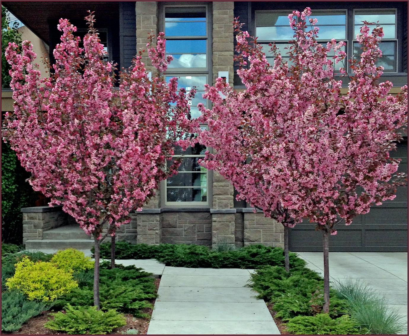 ornamental crabapple trees