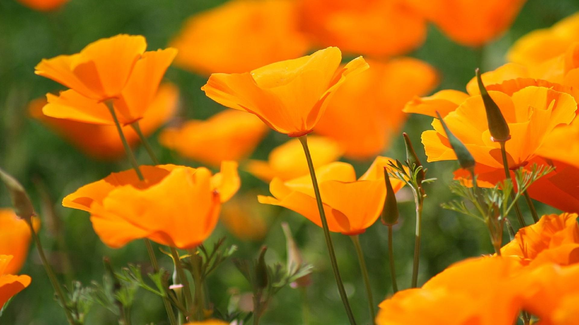 Orange Poppies Wildflower Garden Pinterest Orange Poppy