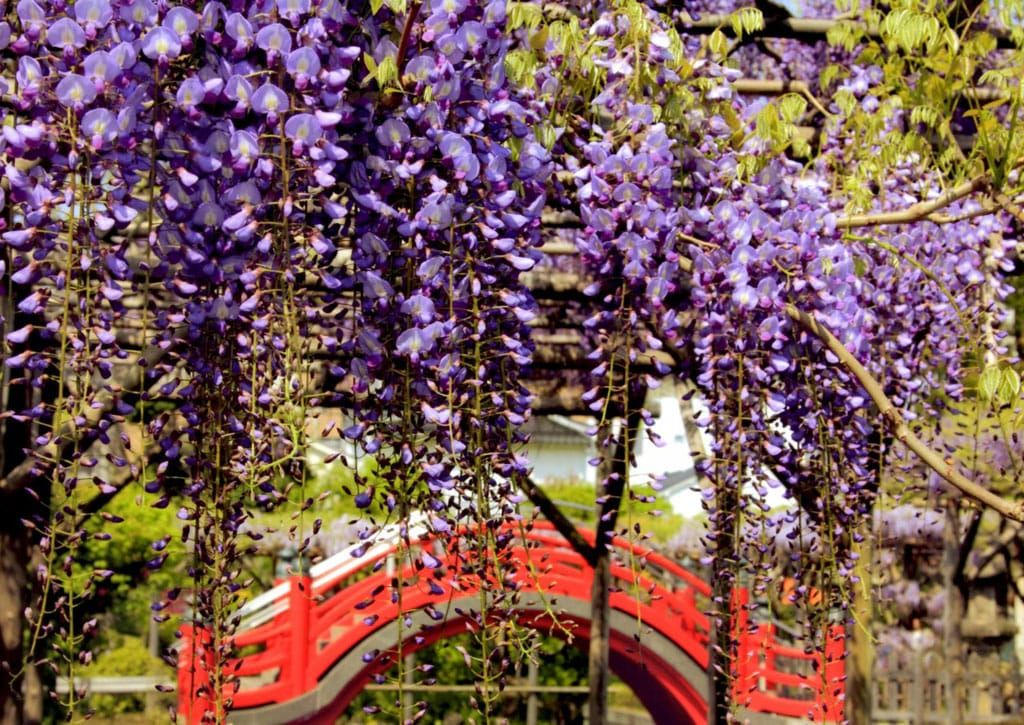 After The Sakura Relish The Wisteria At Kameido Tenjinja Shrine Matcha Japan Travel Web Magazine Although Sakura May Be In 2020 Matcha Japan Japan Travel Wisteria