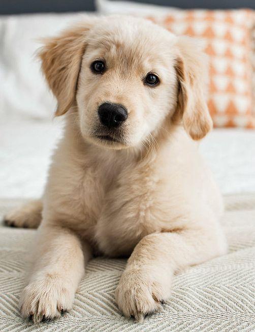 Rosie The Golden Retriever Dogs Golden Retriever Cute Puppy