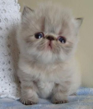 Persian Colourpoint Persian kitten. I don't even like cats, but this little thing is cute!!