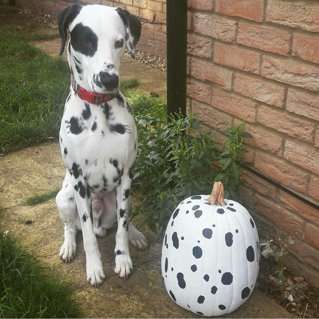 Instagram Septimusthedal Dalmatian Pumpkin October Dalmatiner
