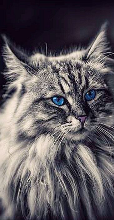 Amazing Fluffy Cat With Blue Eyes Photo By Pat Jimi Stauffer Cats Kitty Kitten Animal Pet Fur Fluffy Cute Amazing Long Gorgeous Cats Cats Cat With Blue Eyes