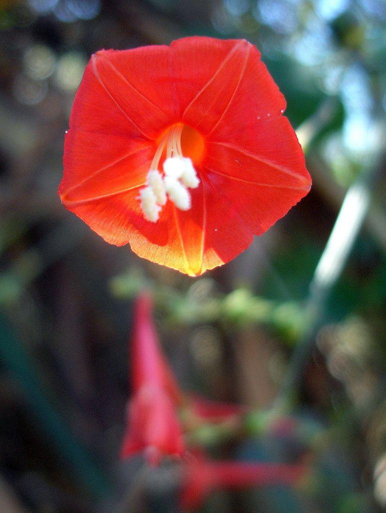 Flor Do Cerrado Brazilian Savannah Flower Com Imagens Flores
