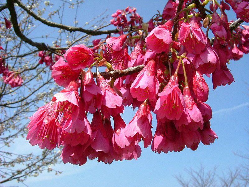 Hikanzakura Prunus Campanulata Wikipedia The Free Encyclopedia