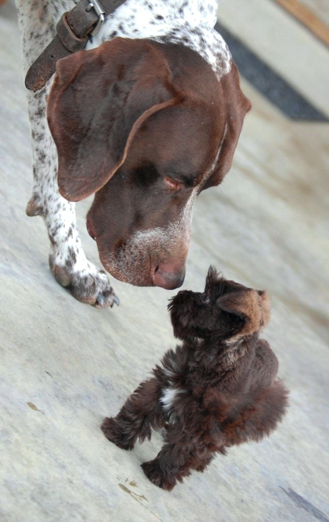 "Baby chocolate Schnauzer, ""Hope"" meets, ""Bolt"", German Short Hair Pointer!"