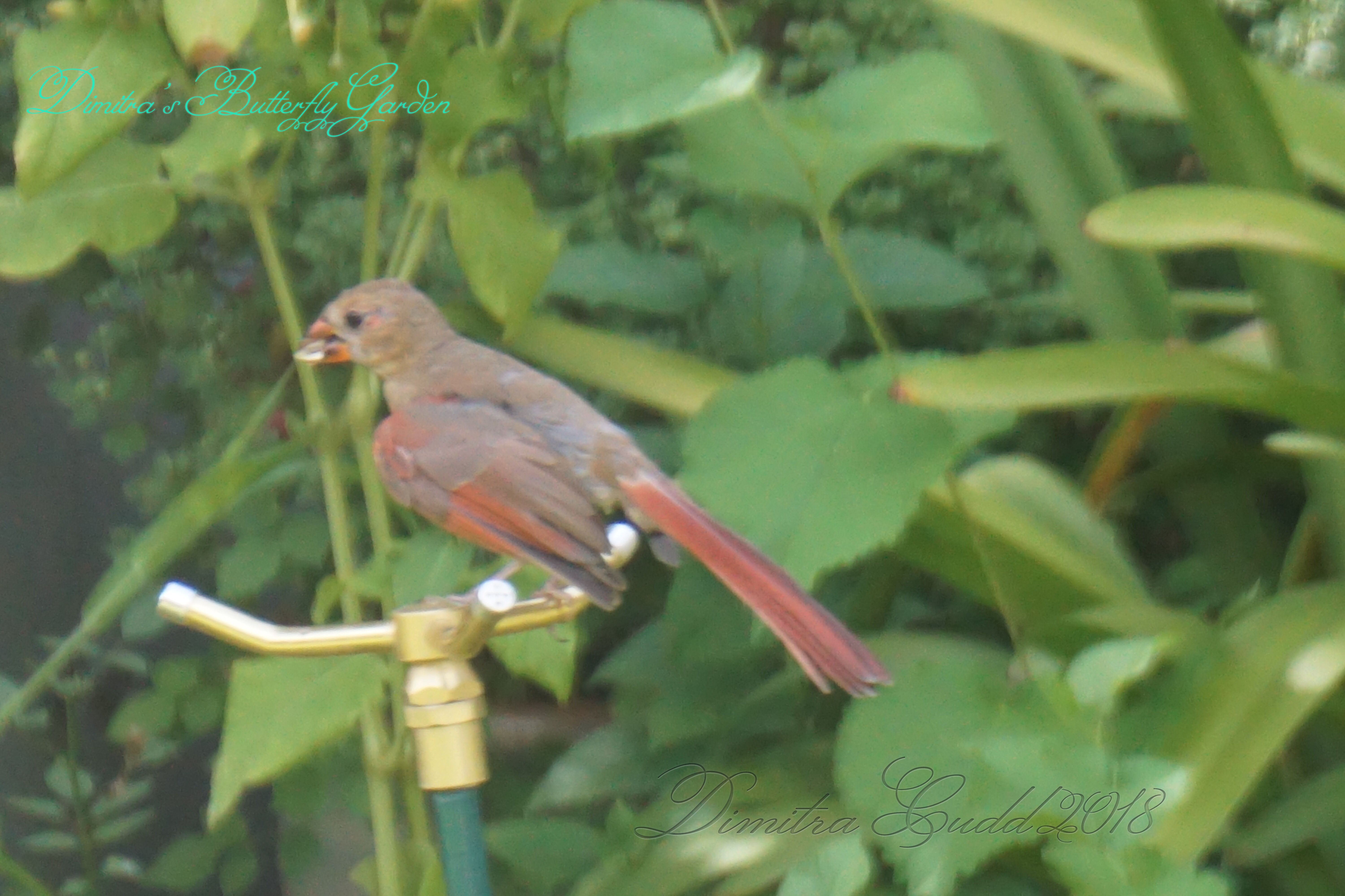 Baby Boy Cardinal Adventuring In The Backyard With Images