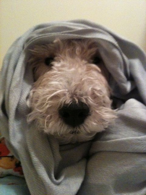 Pictures of Wire Fox Terrier Dog Breed. Recovering after my latest bout !