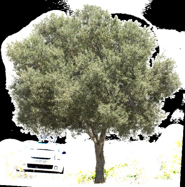 Olea Europaea Ii Tree Photoshop Olive Tree Tree Illustration