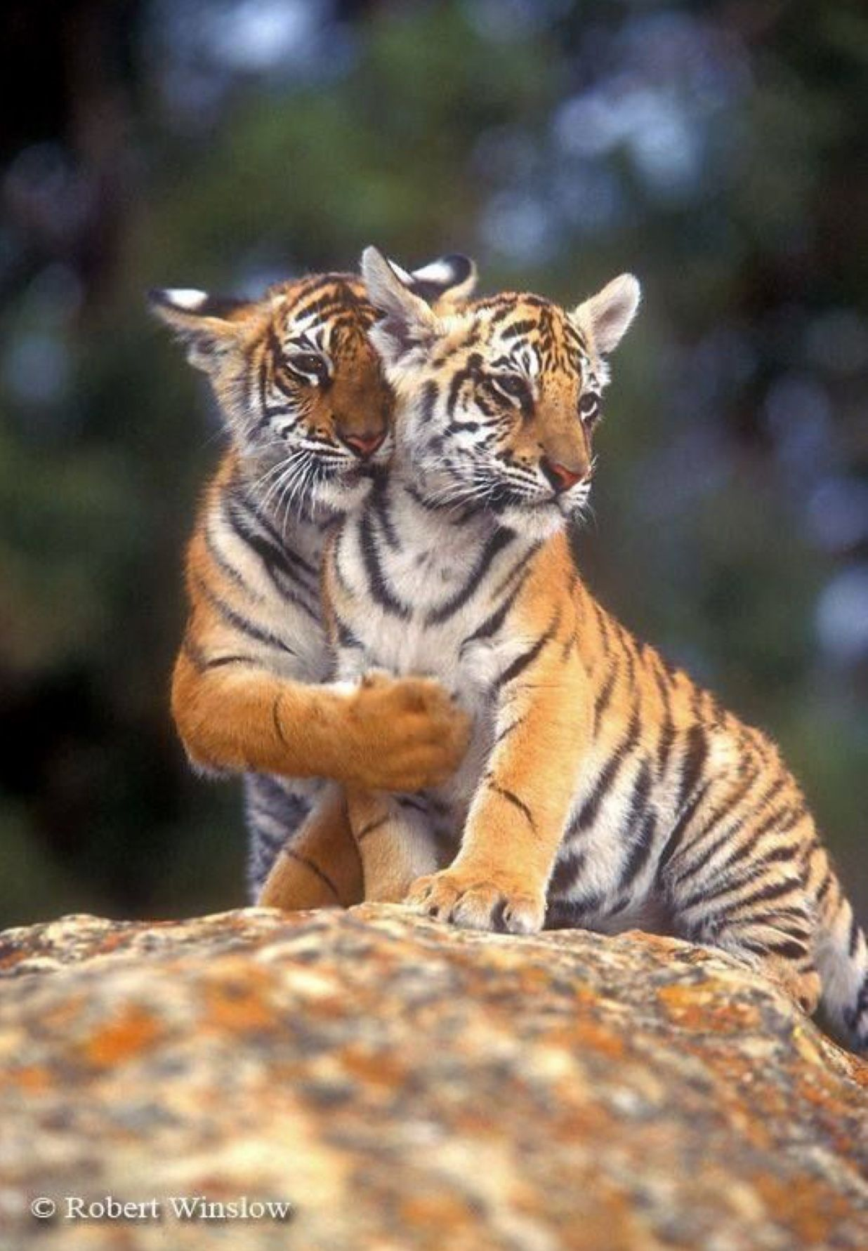Beautiful Tiger Cubs One S A Philosopher The Other Wants To