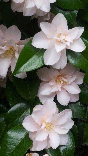 Camellia Japonica Hagoromo White Flowering Camellias Buy Uk Camellia Plant Camellia Beautiful Flowers