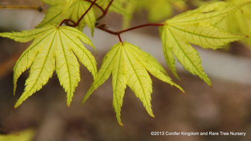 Acer palmatum 'Shigitatsu sawa' _ Japanese Maple #japanesemaple