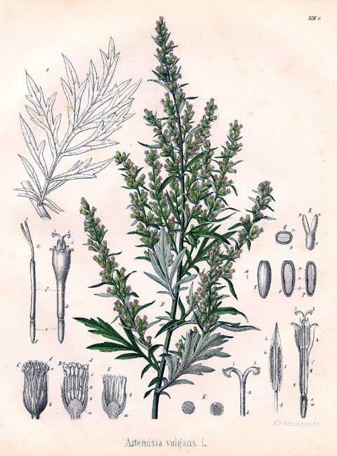 Afbeeldingsresultaat voor artemisia vulgaris